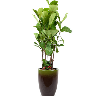 떡갈 고무나무 1호(170cm내외)